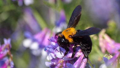 What Are Boring Bees?