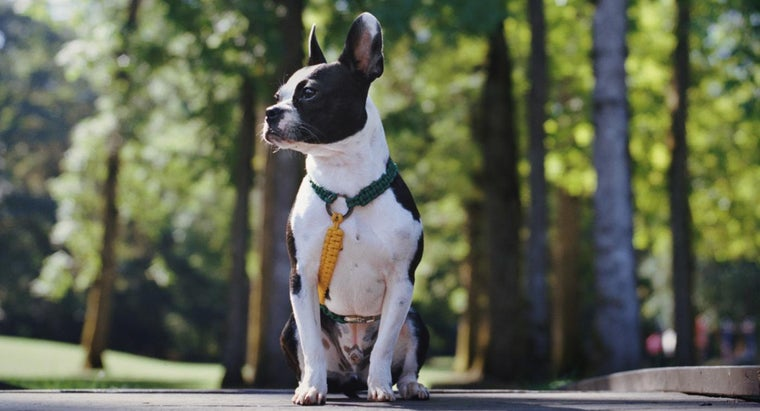 what does a boston terrier look like what does a boston terrier and bulldog mix look like 8799