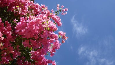 Are Bougainvillea Plants Poisonous?