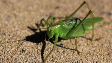 How Do You Breed Crickets?