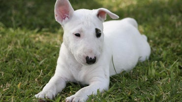 What Breed of Dog Is Spuds MacKenzie?