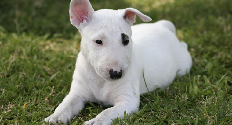 what breed of dog is spuds mackenzie reference com