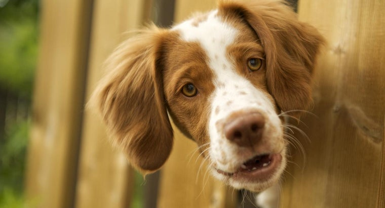 What Is a Brittany Spaniel Mix?
