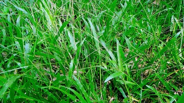 What Is Broadleaf Grass?