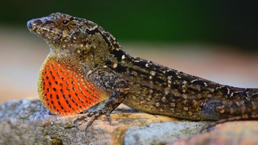 What Do Brown Lizards Eat?