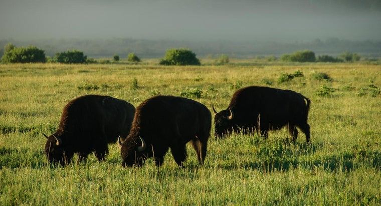 What Do Buffaloes Eat?