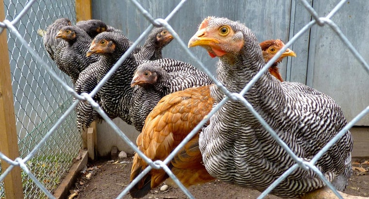 How Do You Build a Chicken Roost?