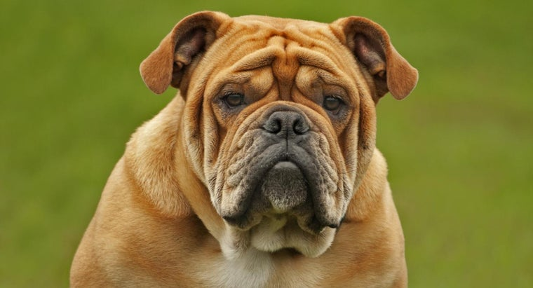 What Is a Bulldog Muzzle?