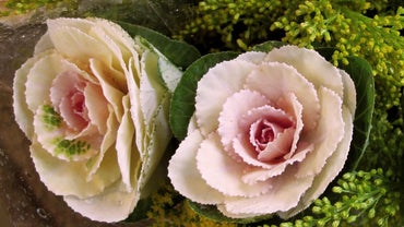 What Does a Cabbage Rose Look Like?