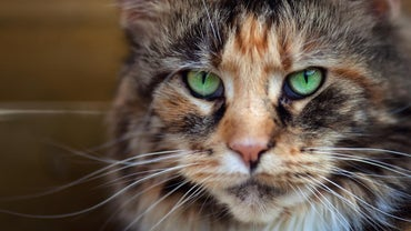 What Is a Calico Maine Coon?