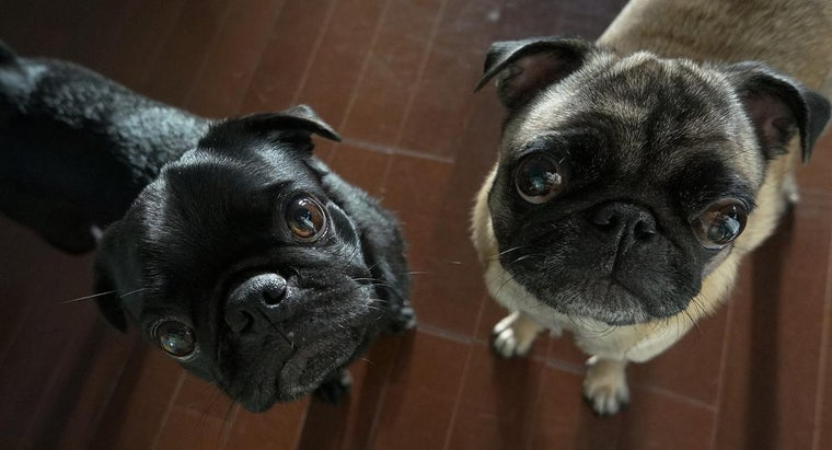 What Do You Call a Group of Pugs?