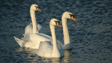 What Do You Call a Group of Swans?