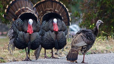 What Do You Call a Group of Turkeys?