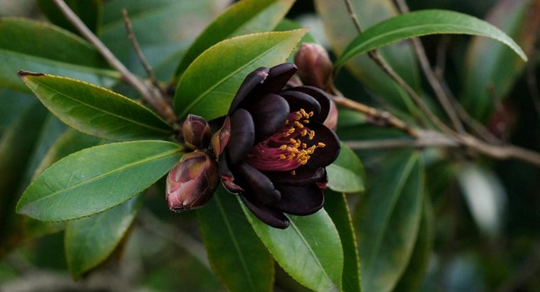 What Is a Camellia Shrub?