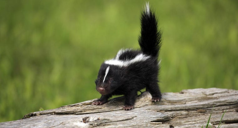 Can Baby Skunks Spray?