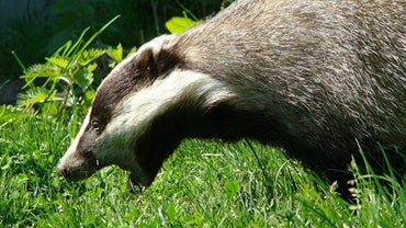Can a Badger Attack Humans?