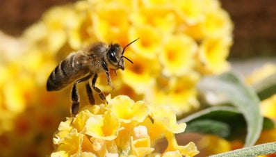 Can Bees See Color?