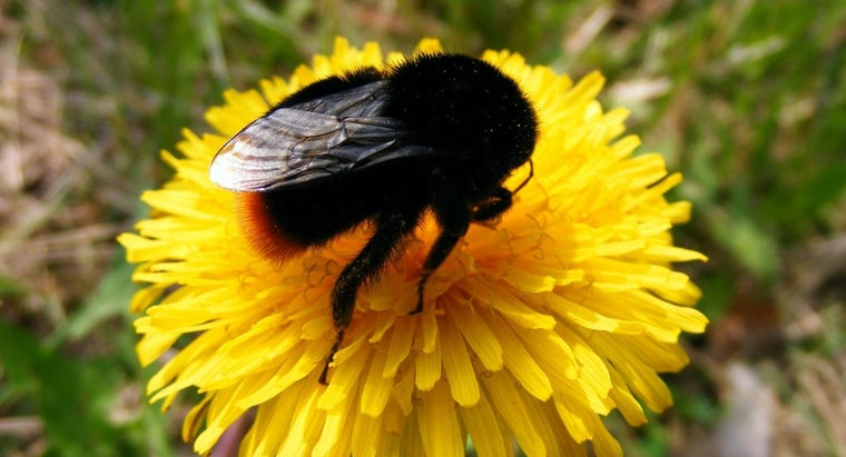 Can Black Bumblebees Sting?