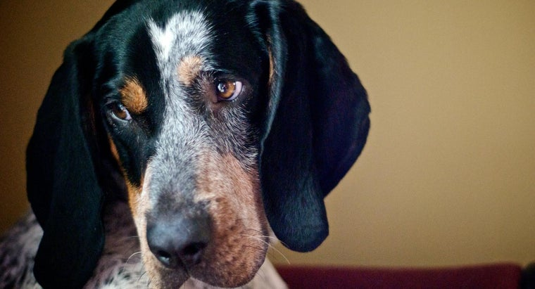 Where Can Bluetick Hound Dogs Be Purchased?