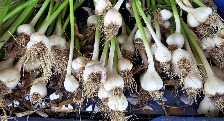 Where Can You Buy Garlic Bulbs for Planting?