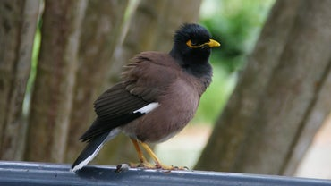 Where Can I Buy a Mynah Bird?