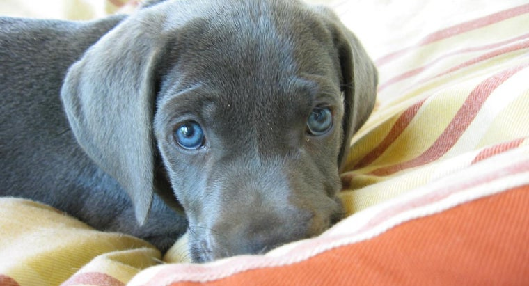 Where Can You Buy Silver Lab Puppies?