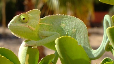 Can Chameleons Eat Fruits?