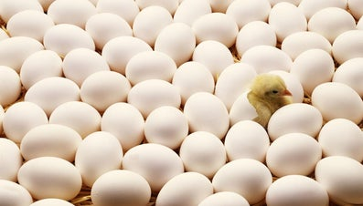 Can Chicks Communicate Before They Hatch?