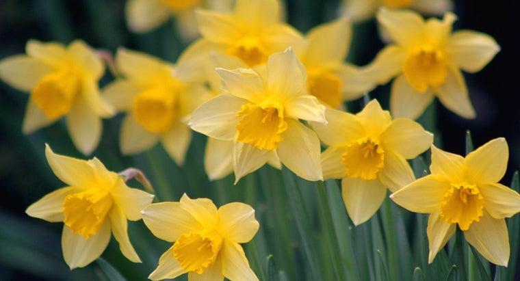 Can You Eat Daffodils?