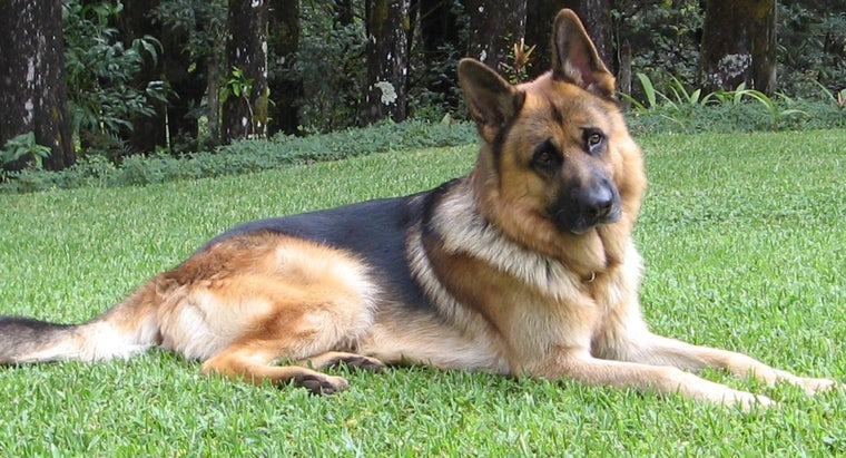 Where Can You Find a German Shepherd for Sale?