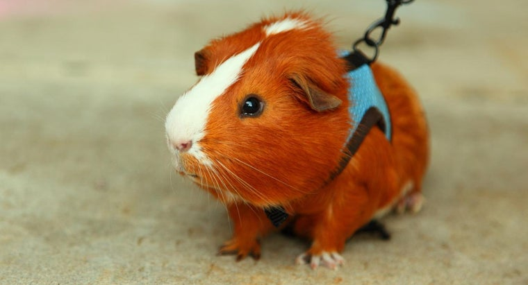 Can Guinea Pigs Live Outside?