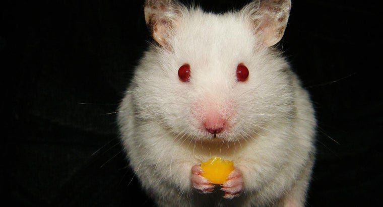 Can Hamsters Eat Cheese?