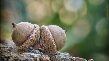 Can Humans Eat Acorns?
