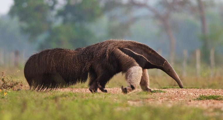 Can You Keep a Pet Anteater?