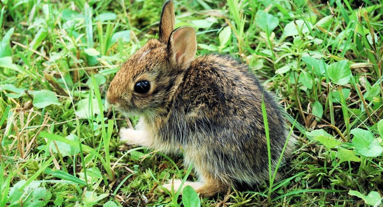 Can You Keep a Wild Baby Rabbit As a Pet?