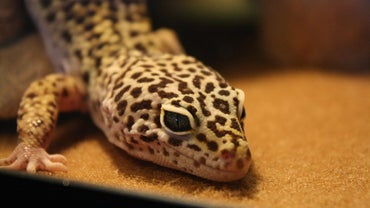 Can Leopard Geckos Eat Fruit?