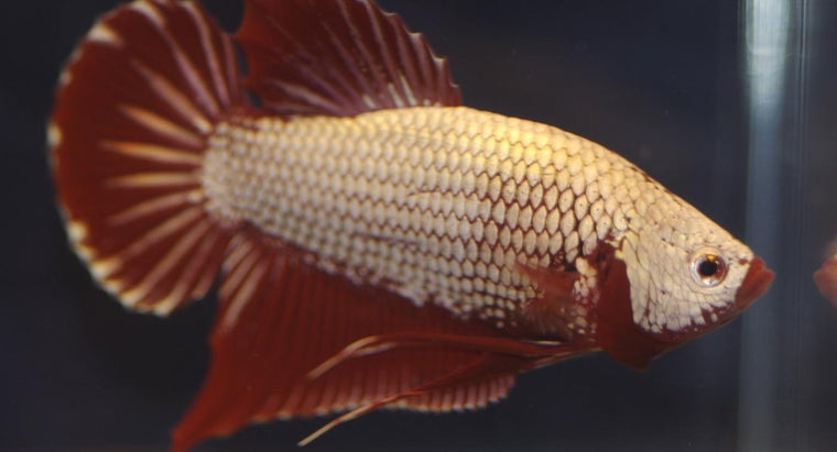How Can You Find Out If a Betta Fish Is Pregnant?