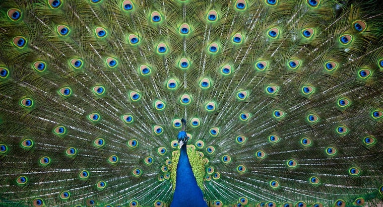 Where Can You Find Peacocks for Sale?