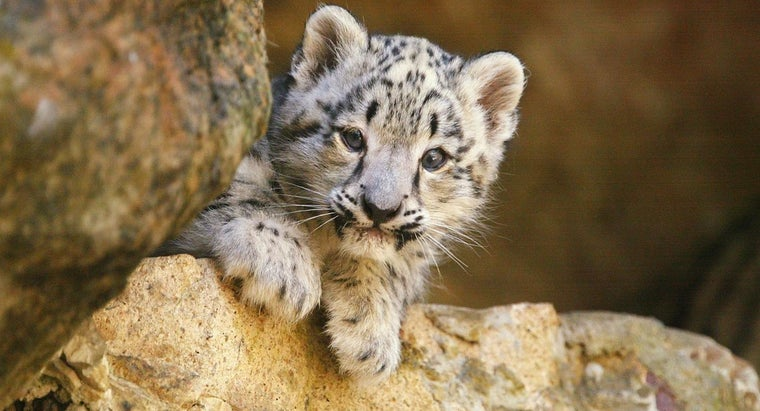 Where Can You Find Pictures of Snow Leopards to Show Kids?