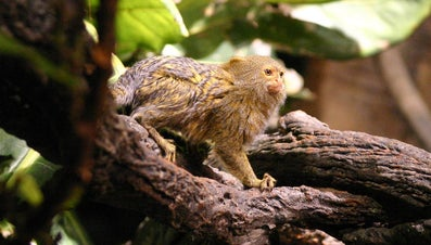 Where Can I Find a Pocket Monkey for Sale?