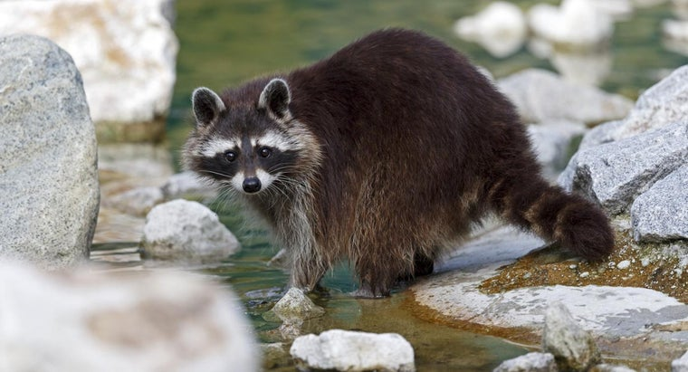 Can Raccoons Swim?
