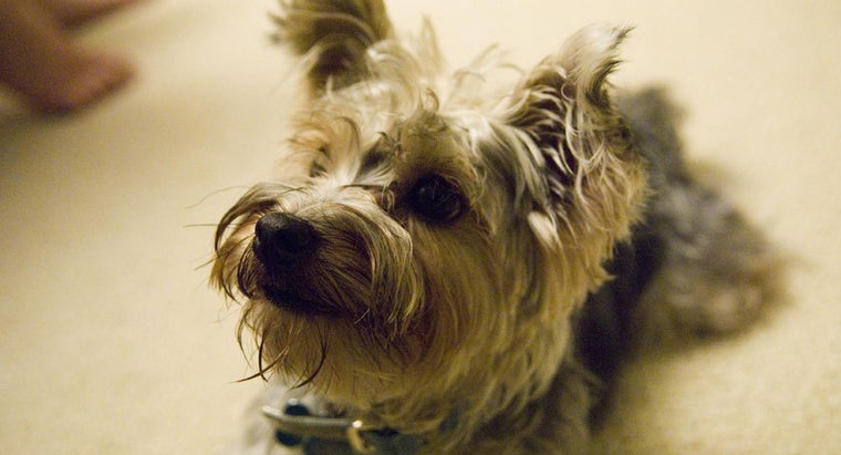 Where Can You Rescue a Yorkie Poo Puppy?