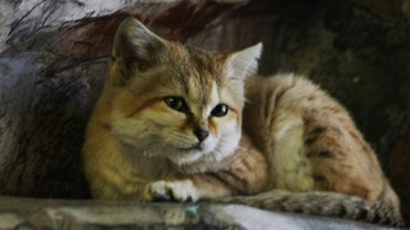 Can You Have Sand Cats As Pets?