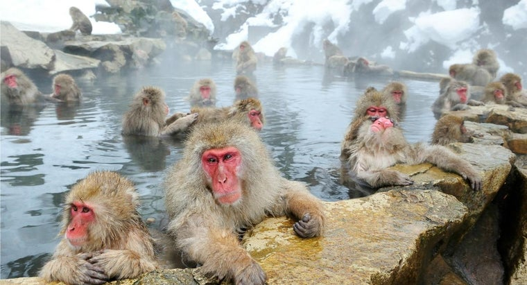 Where Can You Find Snow Monkeys in Japan?