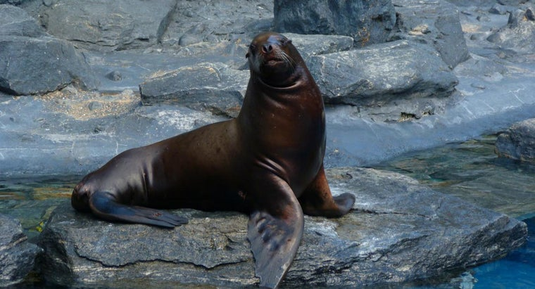 Where Can I Find the Stellar Sea Lion?
