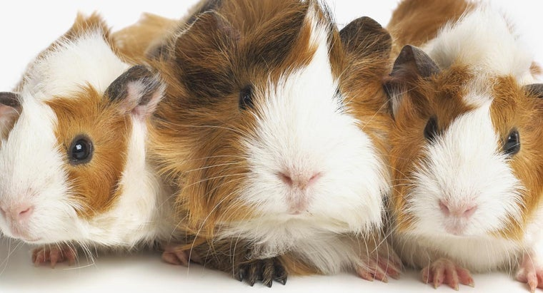 How Can You Tell If a Guinea Pig Is a Boy or a Girl? | Reference.com