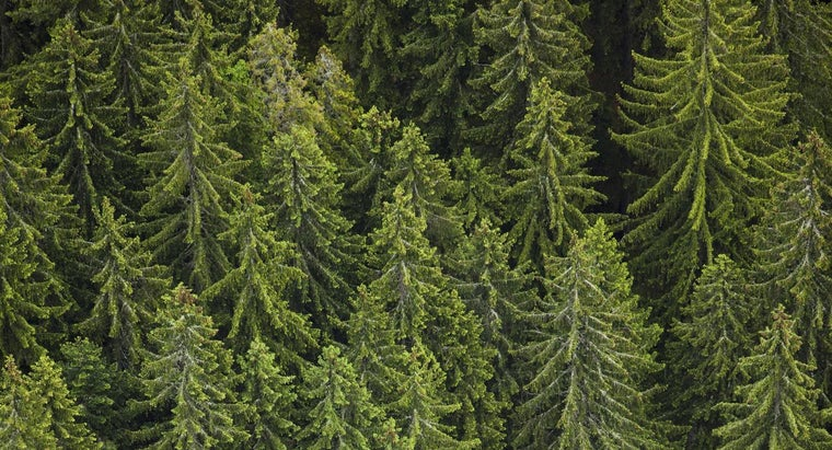 How Can You Tell What Kind of Pine Tree You Have?