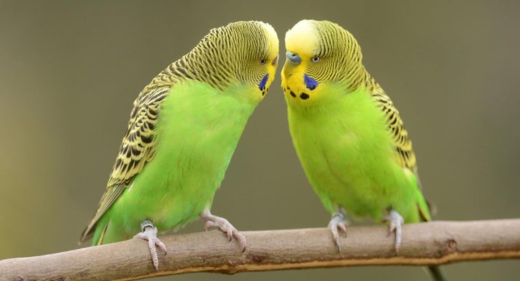 How Can I Tell If My Parakeet Is a Boy or Girl?
