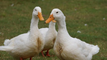 How Can You Tell If a White Duck Is Male or Female?