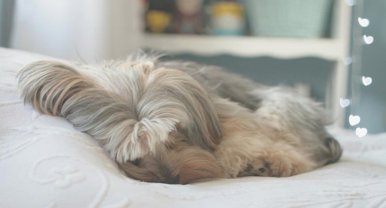 How Can I Tell If My Yorkie Is Pregnant?